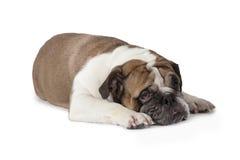 SAD engelsk bulldogg Arkivfoton