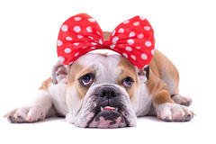 SAD engelsk bulldogg Fotografering för Bildbyråer