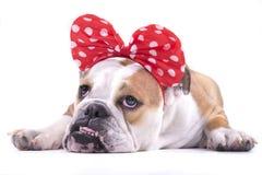 SAD engelsk bulldogg Royaltyfri Fotografi