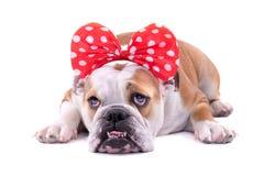 SAD engelsk bulldogg Royaltyfri Foto
