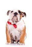 SAD engelsk valp för bulldogg Arkivfoto
