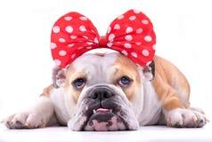 Sad English bulldog stock images
