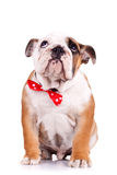 Sad English Bulldog Puppy Stock Photo