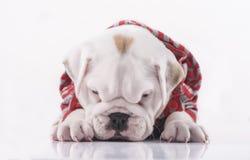 Sad English bulldog puppy Stock Images