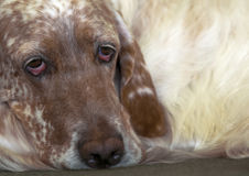 Sad english setter portrait Royalty Free Stock Photo