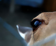 Sad eye: Animal in captivity Stock Image