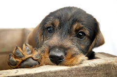 Sad eye Dachshund puppy with paw. Stock Photography