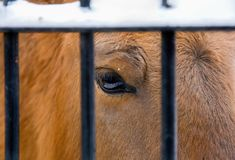 Sad eye of a horse in a zoo behind metal bars. Fence royalty free stock image
