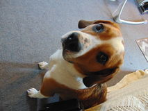 Sad-eyed Dog. Looking upwards at the camera stock photography