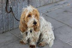 Sad eyed dog. Sad old chump sitting on the street waiting for his master Stock Images