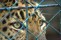 Sad eyes. North Chinese leopard - prisoner behind wired cage Stock Image