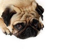 Sad Eyes. Cute Pug with sad eyes Royalty Free Stock Photo