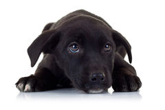 Sad eyes of a black little stray puppy dog. Looking up at something stock images
