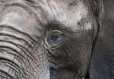 Sad eyes of an elephant. Dusty and wrinkled elephant looks sad Stock Photography