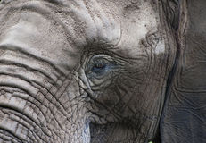 Sad eyes of an elephant. Stock Photography