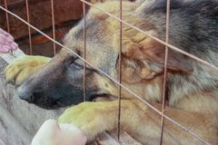 Sad german shepherd in aviary stock image