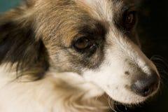 Sad eyes of a little dog Stock Images