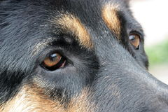 Sad eyes of a sheep-dog Royalty Free Stock Image