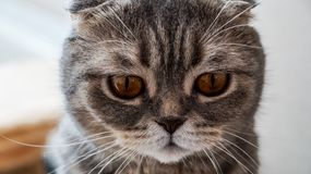 The sad face of the British lop-eared cats near. Photo Royalty Free Stock Image