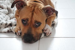 Sad face dog. Lying on his rug, and longs for his master Royalty Free Stock Image
