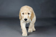 Sad face goldendoodle. Puppy on grey Stock Photo