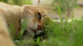Sad face of a red cat lying on the green grass. 4 k video stock video