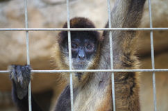 Sad face at the zoo. Black-handed spider monkey (Ateles geoffroyi) looks out through the bars of its cage in the San Antonio Zoo stock photography