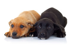 Sad  faces of two stray puppy dogs Royalty Free Stock Image