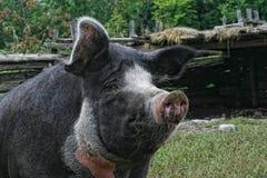 Free Sad Fat Pig Royalty Free Stock Photography - 15134537