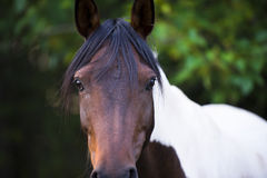 Sad fate Horses look bay horse. Sad eyes smart horse through long bangs Menen suit with a brown head and a white croup and swollen nostrils against a blurred stock photo