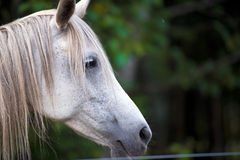Sad fate Horses profile sad horse. The head is white thoroughbred domestic horse behind a fence in profile with sad eyes and a mane and bangs hanging to the side stock image