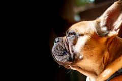 Sad Fawn French Bulldog lying in the sun on a lazy Sunday stock photos
