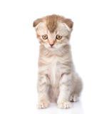 Sad flap-eared kitten. isolated on white background Stock Photos