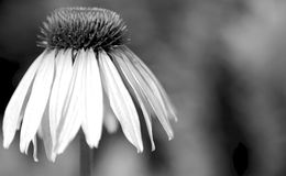 Sad Flower. Flower at the end of its live Royalty Free Stock Images