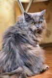 Sad fluffy gray cat Stock Photo