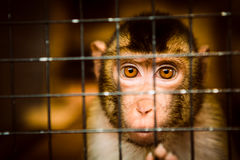 Sad fluffy monkey in a cage sits Royalty Free Stock Images
