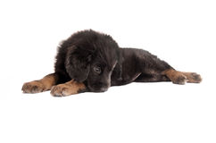 Sad fluffy puppy Royalty Free Stock Photography