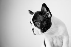 SAD fransk valp för bulldogg Royaltyfri Fotografi
