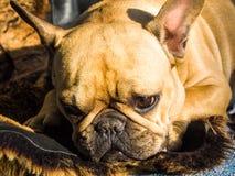 Sad French Bulldog. Is lying on the floor Stock Image