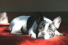 Sad french bulldog lying on a red bedspread royalty free stock images