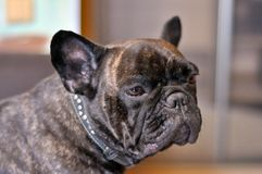 Sad French Bulldog. stock photos