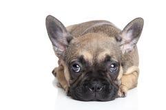 Sad French bulldog puppy Stock Photography