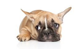 French bulldog puppy on a white background stock images