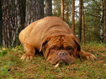 Sad french mastiff lying on the ground in forest. Sad chestnut french mastiff lying onn the ground in autumn forest Royalty Free Stock Images