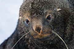 Sad Fur Seal. Lwith big eyes looking into the camera Royalty Free Stock Image