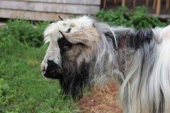 Sad furry goat stock photos