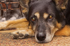 Sad gaze of a dog. Sad gaze of a sheep dog lying on the carpet indoors Stock Photography