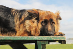 Sad german shepherd Royalty Free Stock Photography