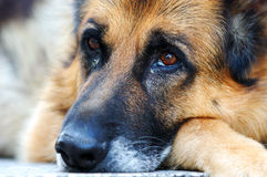 Sad german shepherd dog. Closeup of a German shepherd dog, leaning on ground with sad face Royalty Free Stock Photography