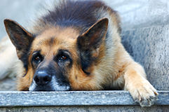 Sad german shepherd dog. German shepherd dog, leaning on ground with sad face Royalty Free Stock Image